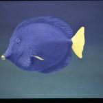 Tang bleu, détail d'un sujet sous-marin.